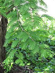 Dawn Redwood (Metasequoia glyptostroboides) at Bayport Flower Houses