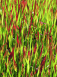 Red Baron Japanese Blood Grass (Imperata cylindrica 'Red Baron') at Bayport Flower Houses