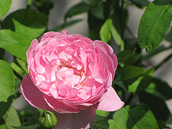 Mary Rose (Rosa 'Mary') at Bayport Flower Houses