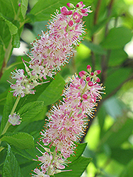 Ruby Spice Summersweet (Clethra alnifolia 'Ruby Spice') at Bayport Flower Houses