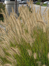 Hameln Dwarf Fountain Grass (Pennisetum alopecuroides 'Hameln') at Bayport Flower Houses