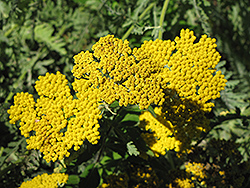 Coronation Gold Yarrow (Achillea 'Coronation Gold') at Bayport Flower Houses