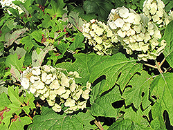 Snow Queen Hydrangea (Hydrangea quercifolia 'Snow Queen') at Bayport Flower Houses