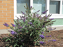 Nanho Blue Butterfly Bush (Buddleia davidii 'Nanho Blue') at Bayport Flower Houses
