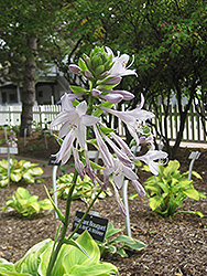 Fragrant Bouquet Hosta (Hosta 'Fragrant Bouquet') at Bayport Flower Houses