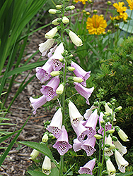 Foxy Foxglove (Digitalis purpurea 'Foxy') at Bayport Flower Houses