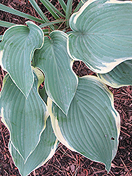 Regal Splendor Hosta (Hosta 'Regal Splendor') at Bayport Flower Houses