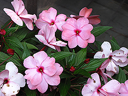 Infinity® Pink New Guinea Impatiens (Impatiens hawkeri 'Infinity Pink') at Bayport Flower Houses