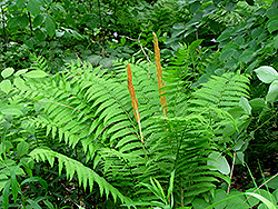 Cinnamon Fern (Osmunda cinnamomea) at Bayport Flower Houses