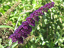 Black Knight Butterfly Bush (Buddleia davidii 'Black Knight') at Bayport Flower Houses