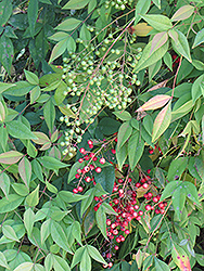 Nandina (Nandina domestica) at Bayport Flower Houses