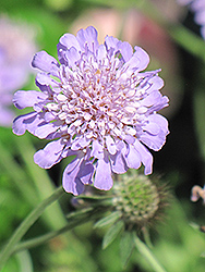 Butterfly Blue Pincushion Flower (Scabiosa 'Butterfly Blue') at Bayport Flower Houses