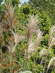 Variegated Silver Grass (Miscanthus sinensis 'Variegatus') at Bayport Flower Houses