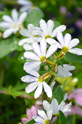 Whirlwind® White Fan Flower (Scaevola aemula 'Whirlwind White') at Bayport Flower Houses