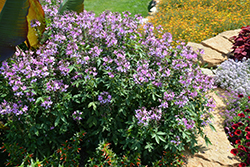 Senorita Rosalita Spiderflower (Cleome 'Senorita Rosalita') at Bayport Flower Houses