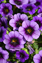 Superbells® Grape Punch Calibrachoa (Calibrachoa 'Superbells Grape Punch') at Bayport Flower Houses