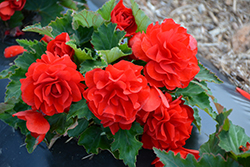 Nonstop® Red Begonia (Begonia 'Nonstop Red') at Bayport Flower Houses