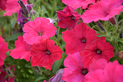 Supertunia® Sangria Charm Petunia (Petunia 'Supertunia Sangria Charm') at Bayport Flower Houses