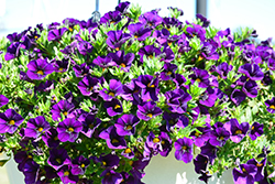 Aloha Nani Midnight Blue Calibrachoa (Calibrachoa 'Aloha Nani Midnight Blue') at Bayport Flower Houses