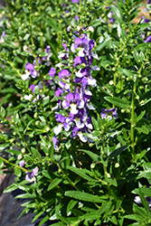 Angelface® Wedgewood Blue Angelonia (Angelonia angustifolia 'Angelface Wedgewood Blue') at Bayport Flower Houses