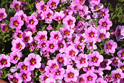 Aloha Tiki Soft Pink Calibrachoa (Calibrachoa 'Aloha Tiki Soft Pink') at Bayport Flower Houses