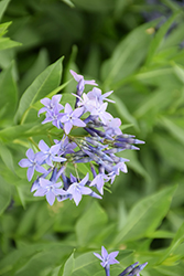 Blue Ice Star Flower (Amsonia tabernaemontana 'Blue Ice') at Bayport Flower Houses