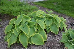Victory Hosta (Hosta 'Victory') at Bayport Flower Houses