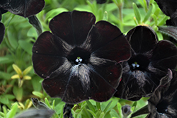 Sweetunia Black Satin Petunia (Petunia 'Sweetunia Black Satin') at Bayport Flower Houses