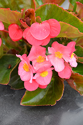 Big® Rose Bronze Leaf Begonia (Begonia 'Big Rose Bronze Leaf') at Bayport Flower Houses