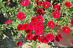 Superbells® Red Calibrachoa (Calibrachoa 'Superbells Red') at Bayport Flower Houses