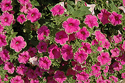 Supertunia® Picasso In Pink Petunia (Petunia 'Supertunia Picasso In Pink') at Bayport Flower Houses