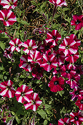 Littletunia Bicolor Illusion Petunia (Petunia 'Littletunia Bicolor Illusion') at Bayport Flower Houses
