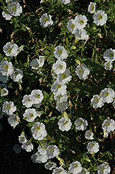 Littletunia White Grace Petunia (Petunia 'Littletunia White Grace') at Bayport Flower Houses