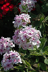 Superbena® Pink Parfait Verbena (Verbena 'Superbena Pink Parfait') at Bayport Flower Houses