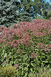 Joe Pye Weed (Eupatorium purpureum) at Bayport Flower Houses