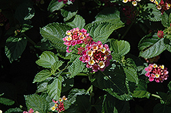 Patriot Classic Passion Lantana (Lantana camara 'Patriot Classic Passion') at Bayport Flower Houses