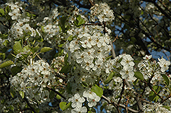 Cleveland Select Ornamental Pear (Pyrus calleryana 'Cleveland Select') at Bayport Flower Houses