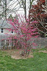 Appalachian Red Redbud (Cercis canadensis 'Appalachian Red') at Bayport Flower Houses