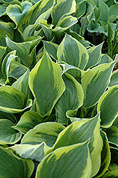 Twilight Hosta (Hosta 'Twilight') at Bayport Flower Houses