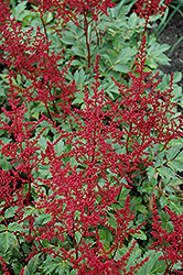 Red Sentinel Astilbe (Astilbe x arendsii 'Red Sentinel') at Bayport Flower Houses