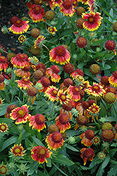 Arizona Sun Blanket Flower (Gaillardia x grandiflora 'Arizona Sun') at Bayport Flower Houses