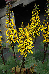 Little Rocket Rayflower (Ligularia 'Little Rocket') at Bayport Flower Houses