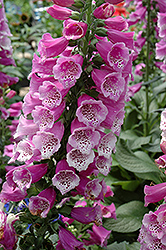 Dalmatian Purple Foxglove (Digitalis purpurea 'Dalmatian Purple') at Bayport Flower Houses