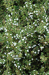 Winter Savory (Satureja montana) at Bayport Flower Houses