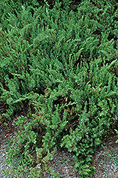 Shore Juniper (Juniperus conferta) at Bayport Flower Houses