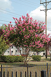 Sioux Crapemyrtle (Lagerstroemia 'Sioux') at Bayport Flower Houses