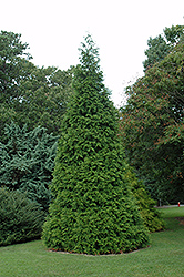 Green Giant Arborvitae (Thuja 'Green Giant') at Bayport Flower Houses
