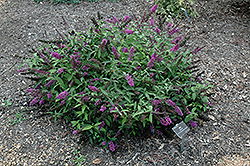 Flutterby Petite® Tutti Fruitti Butterfly Bush (Buddleia davidii 'Podaras 13') at Bayport Flower Houses