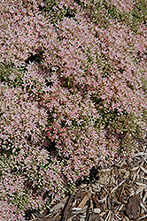 Rock 'N Grow® Pure Joy Stonecrop (Sedum 'Pure Joy') at Bayport Flower Houses