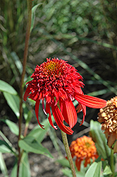 Cone-fections™ Hot Papaya Coneflower (Echinacea 'Hot Papaya') at Bayport Flower Houses
